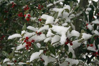 Snowberies