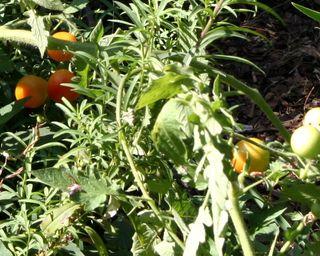 Summertomatoes