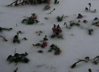 Frozen pansies