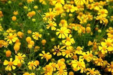 Yellow_flowers_2