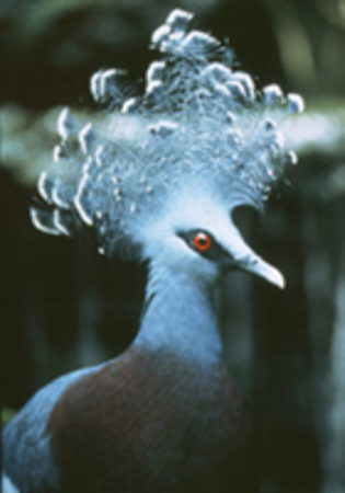 Victoria_crowned_pigeon_fact_sheet